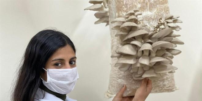 Öğrenciler ürettikleri istiridye mantarlarının hasadına başladı